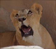 美丽的雌狮 库存图片