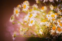 美丽的雏菊在与bokeh,关闭的被弄脏的自然背景开花 免版税库存照片