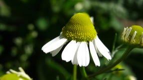 美丽的雏菊在宏观方式下 免版税库存图片