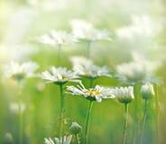 美丽的雏菊在春天 免版税库存图片