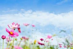 美丽的雏菊开花天空 免版税图库摄影
