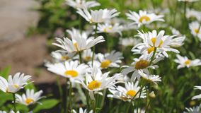 美丽的雏菊花在草甸的春天 白花震动在summerfield的风 特写镜头 股票录像
