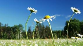 美丽的雏菊花开花,Leucanthemum vulgare,在充分一个平静的森林草甸野生雏菊 股票视频
