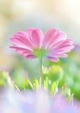 美丽的雏菊花 库存图片