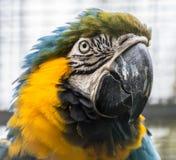 美丽的青和黄色金刚鹦鹉 库存图片