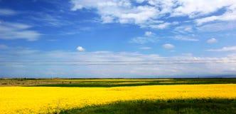 美丽的青海湖-蓝天和白色云彩和开花油菜籽开花 免版税图库摄影