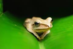 美丽的青蛙 免版税库存图片