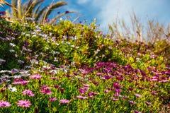 美丽的非洲雏菊的领域 库存照片