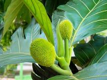 美丽的面包树果面包果altilis树在Manuas,亚马逊,巴西 免版税库存图片