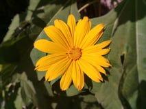 美丽的领域万寿菊在庭院里 免版税库存照片