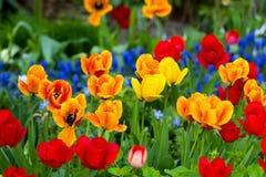 美丽的颜色郁金香 免版税库存图片