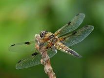 美丽的风帆蜻蜓 图库摄影