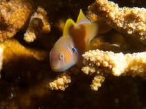 美丽的香橼虾虎鱼 库存图片