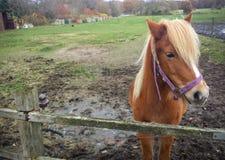 美丽的马在北部德国 免版税库存图片