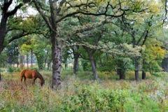 美丽的马森林 免版税库存图片