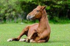 美丽的马横向草甸 免版税库存图片