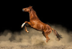 美丽的马纯血统的动物 免版税库存照片