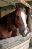 美丽的马纵向 免版税库存照片