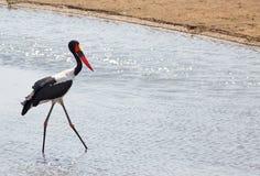 美丽的马鞍在赞比亚发单了趟过通过Luangwa河的鹳 图库摄影