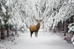 美丽的马鹿雄鹿在积雪的欢乐季节冬天fo 免版税库存照片
