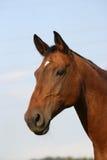美丽的马 免版税库存图片