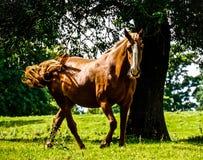美丽的马 库存照片