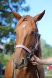 美丽的马 免版税图库摄影
