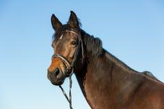 美丽的马Potrait  图库摄影