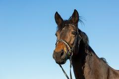 美丽的马Potrait  库存照片