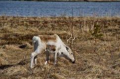 美丽的驯鹿 免版税库存照片