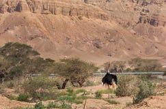 美丽的驼鸟在沙漠 库存照片