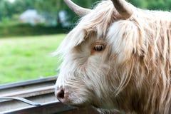 美丽的高地苏格兰长毛的乳脂状的母牛特写镜头画象  库存图片