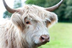 美丽的高地苏格兰长毛的乳脂状的母牛特写镜头画象  图库摄影