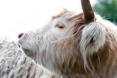 美丽的高地苏格兰长毛的乳脂状的母牛特写镜头画象  免版税图库摄影