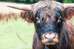 美丽的高地苏格兰长毛的红色母牛特写镜头画象  免版税库存图片