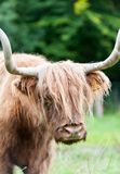 美丽的高地苏格兰长毛的红色母牛特写镜头画象  免版税库存照片