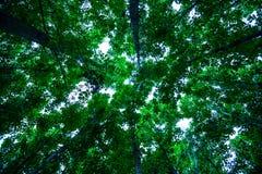 美丽的高大的树木在密林 库存照片