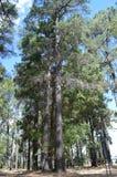 美丽的高大的树木 免版税图库摄影