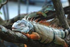 美丽的鬣鳞蜥 库存图片