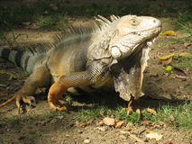 美丽的鬣鳞蜥 库存照片