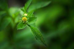 美丽的鬼针草属frondosa Devil's Beggartick 图库摄影