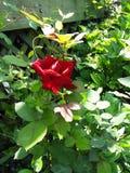 美丽的鲜红色的花 免版税库存照片