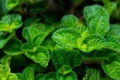 美丽的鲜绿色的叶子叶子薄荷的植物纹理和细节有拷贝空间的 免版税图库摄影