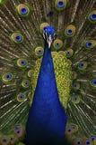 美丽的鸟公印地安孔雀,孔雀座cristatus,显示它的羽毛,与开放尾巴 免版税库存图片