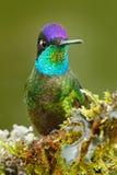 美丽的鸟在自然森林栖所 发光的光滑的鸟细节  壮观的蜂鸟, Eugenes fulgens,好的鸟 库存图片