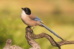 美丽的鸟在西班牙天蓝色飞过了鹊从区域卡斯蒂利亚La Mancha的Cyanopica cyanus 库存图片