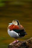 美丽的鸟坐在水平面的,圈状的小野鸭, Callonetta leucophrys,动物在自然栖所,在Th的细节画象 免版税库存图片