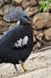 美丽的鸟家禽 免版税库存图片