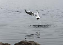 美丽的鸟海鸥在河吃一次有趣的飞行 免版税库存图片