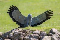 美丽的鸟牺牲者 有翼outstret的非洲猎兔犬鹰 库存照片